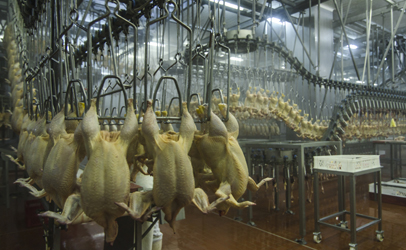 chicken-processing-plant406x250